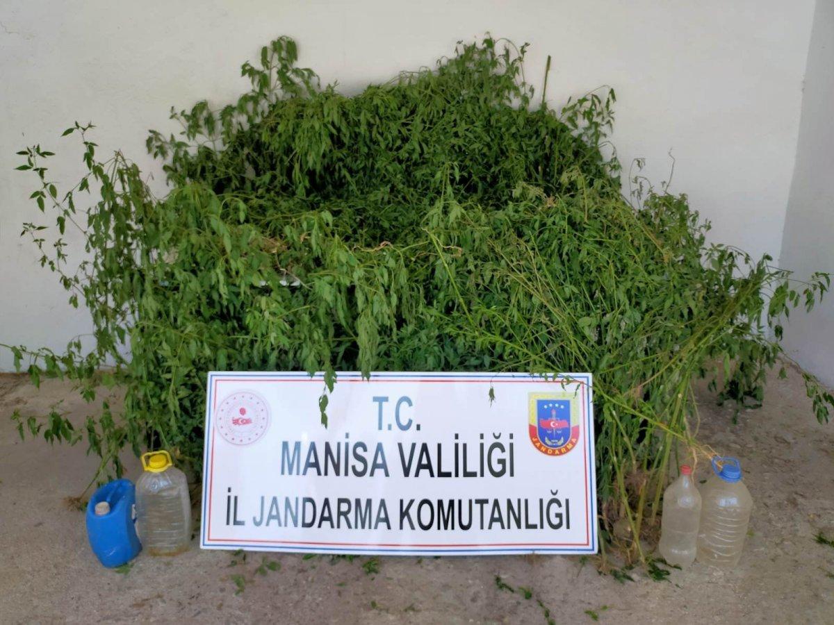 Manisa da dere yatağındaki sazlık alanda bin 624 kök kenevir ele geçirildi #3
