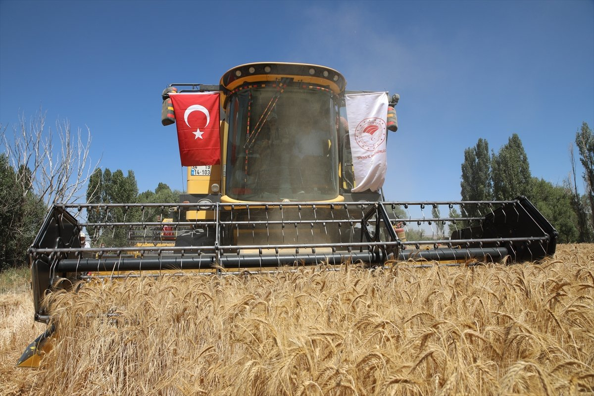 Sivas ta buğdayın alternatifi tritikale kuraklığa rağmen üreticisini mutlu etti #5