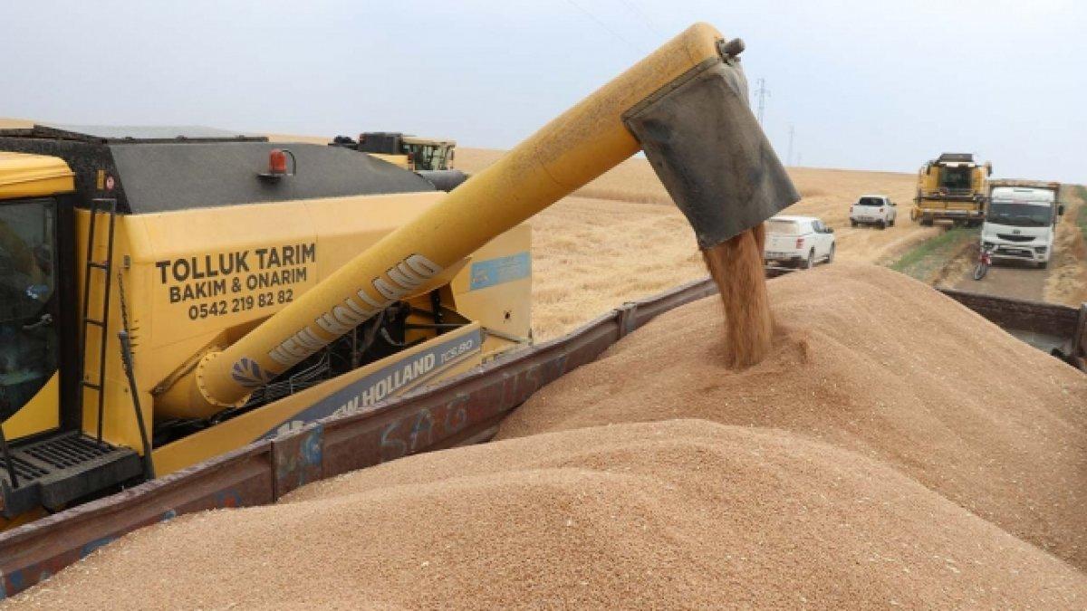Sivas ta buğdayın alternatifi tritikale kuraklığa rağmen üreticisini mutlu etti #4