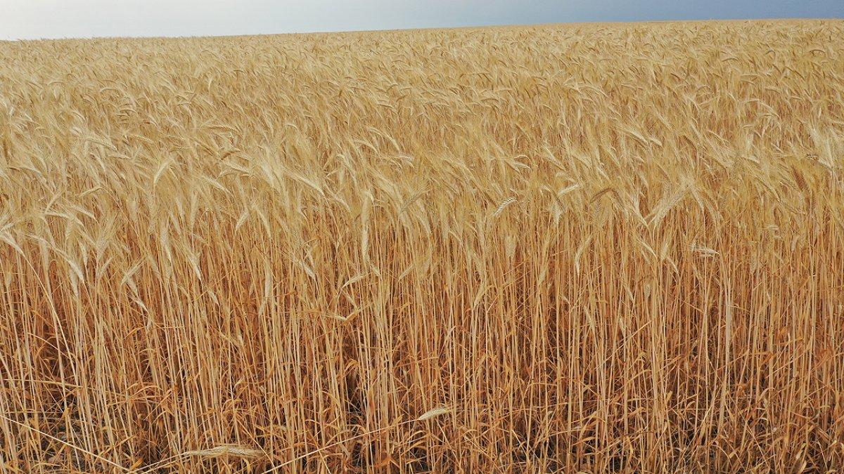 Sivas ta buğdayın alternatifi tritikale kuraklığa rağmen üreticisini mutlu etti #1