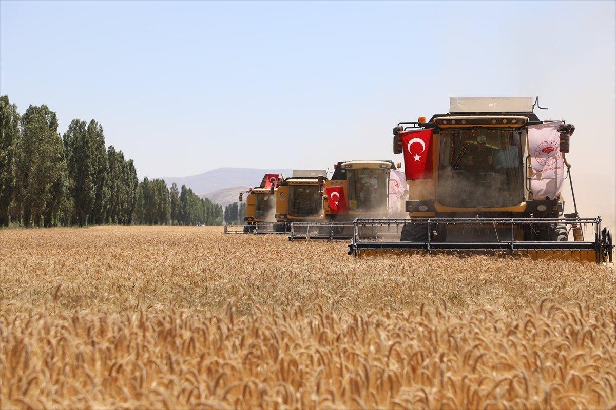 Sivas ta buğdayın alternatifi tritikale kuraklığa rağmen üreticisini mutlu etti #3