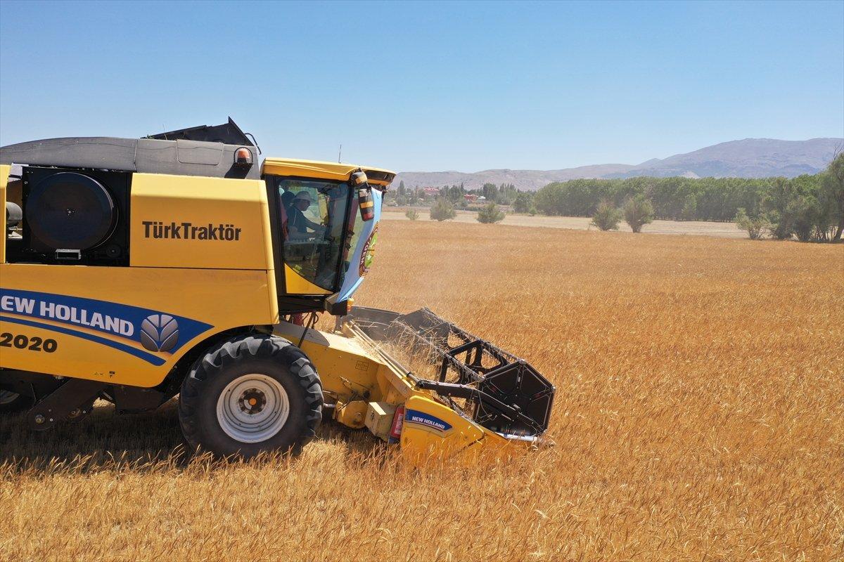 Sivas ta buğdayın alternatifi tritikale kuraklığa rağmen üreticisini mutlu etti #2