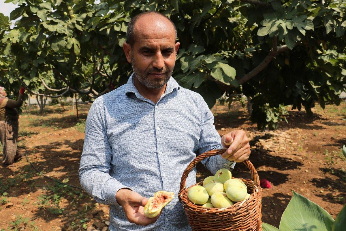 Kahramanmaraş'ın Abbas incirinde hasat dönemi #5