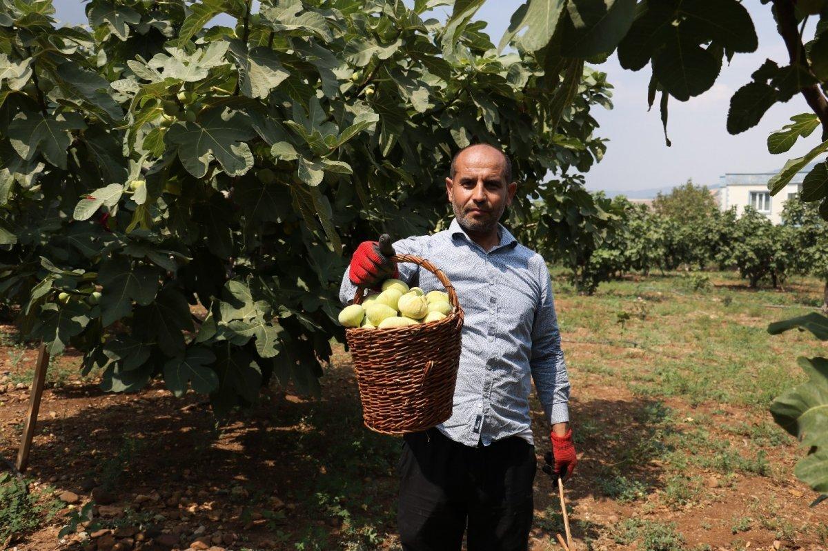 Kahramanmaraş'ın Abbas incirinde hasat dönemi #2