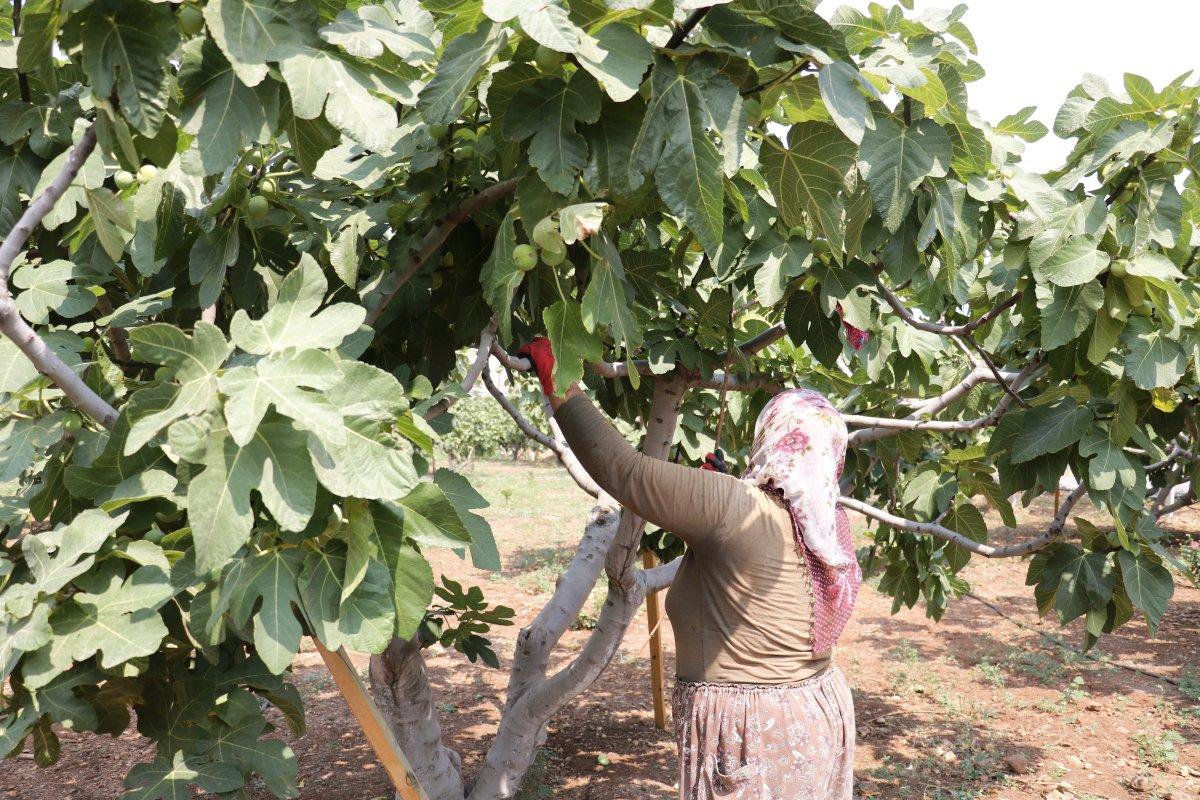 Kahramanmaraş'ın Abbas incirinde hasat dönemi #4