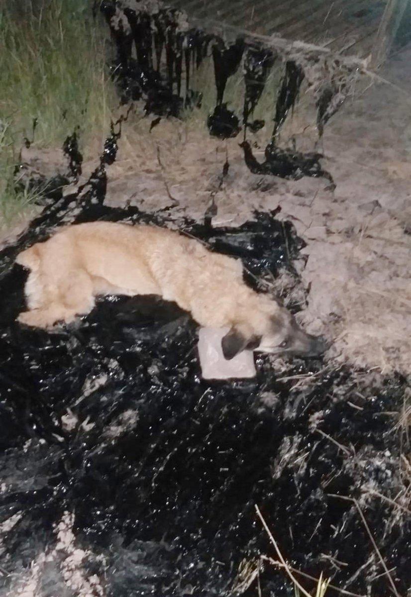 Ağrı da zifte yapışan köpek, 2 saatte kurtarıldı #5