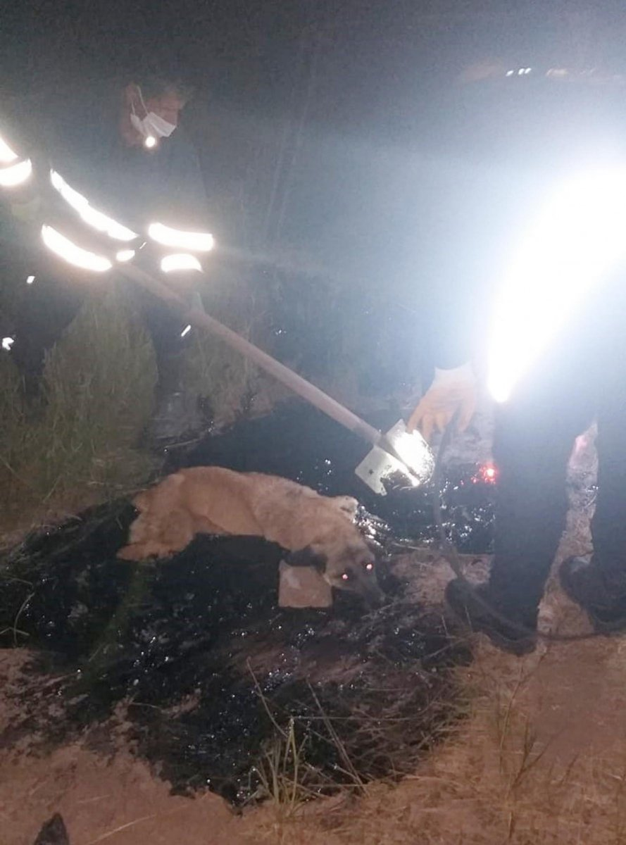 Ağrı da zifte yapışan köpek, 2 saatte kurtarıldı #4