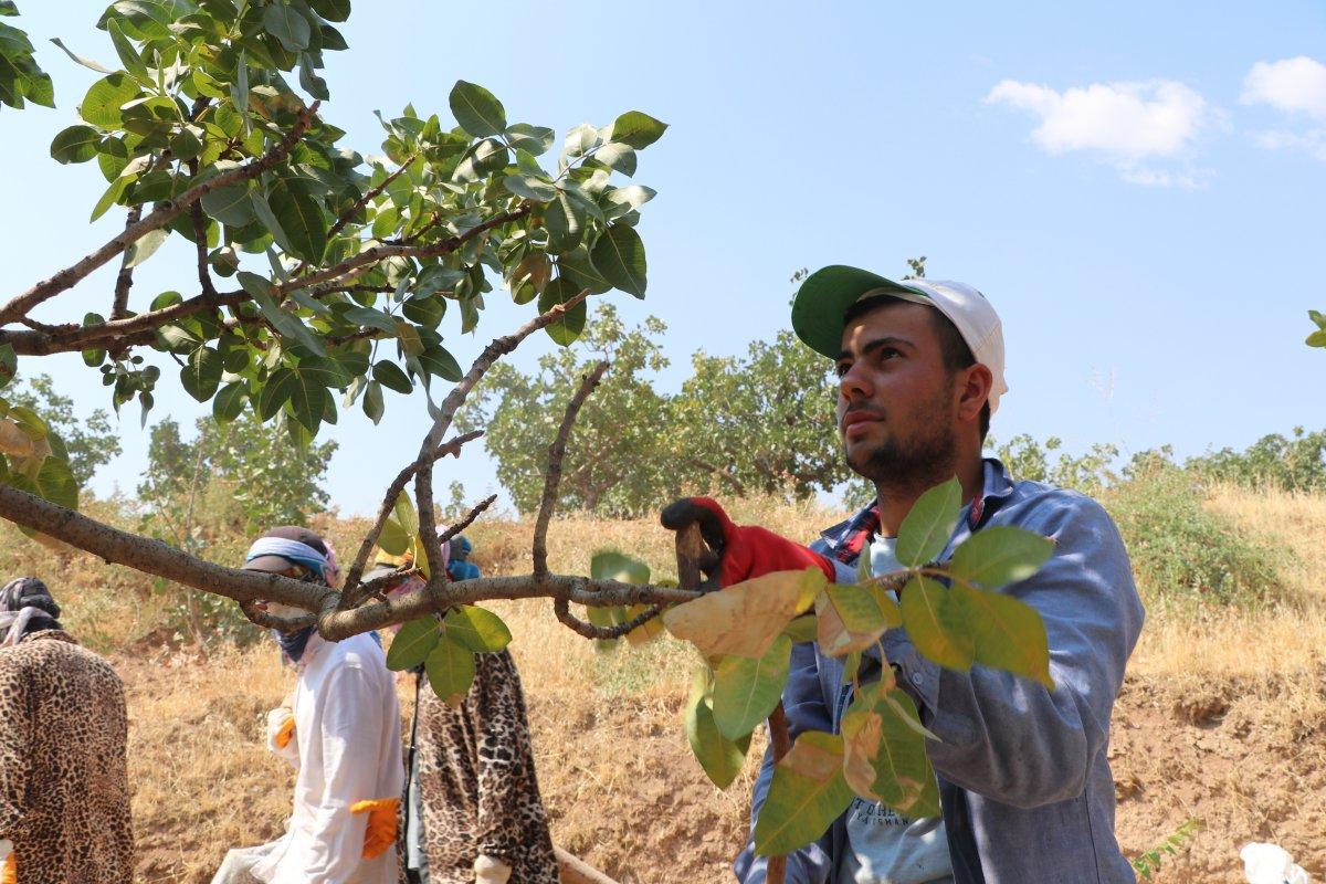 Gaziantep'te bu yıl Antep fıstığının  yok yılı  #3