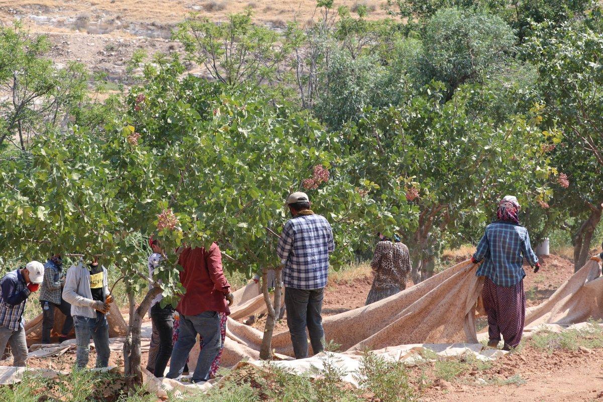 Gaziantep'te bu yıl Antep fıstığının  yok yılı  #5