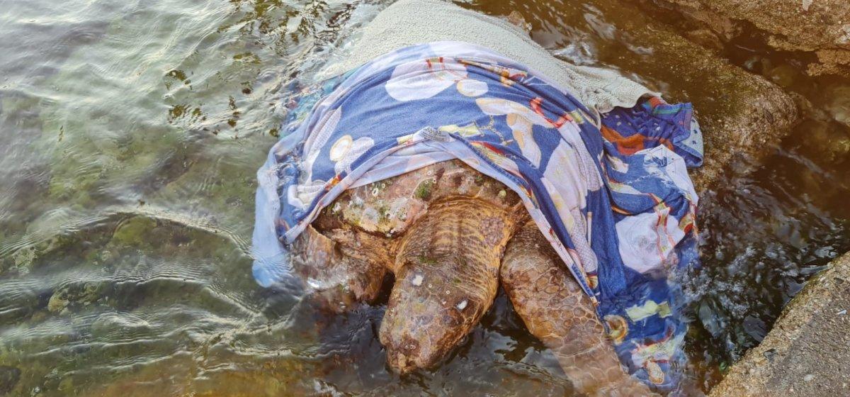 Muğla da hasta olan kaplumbağaya yardım ettiler #1