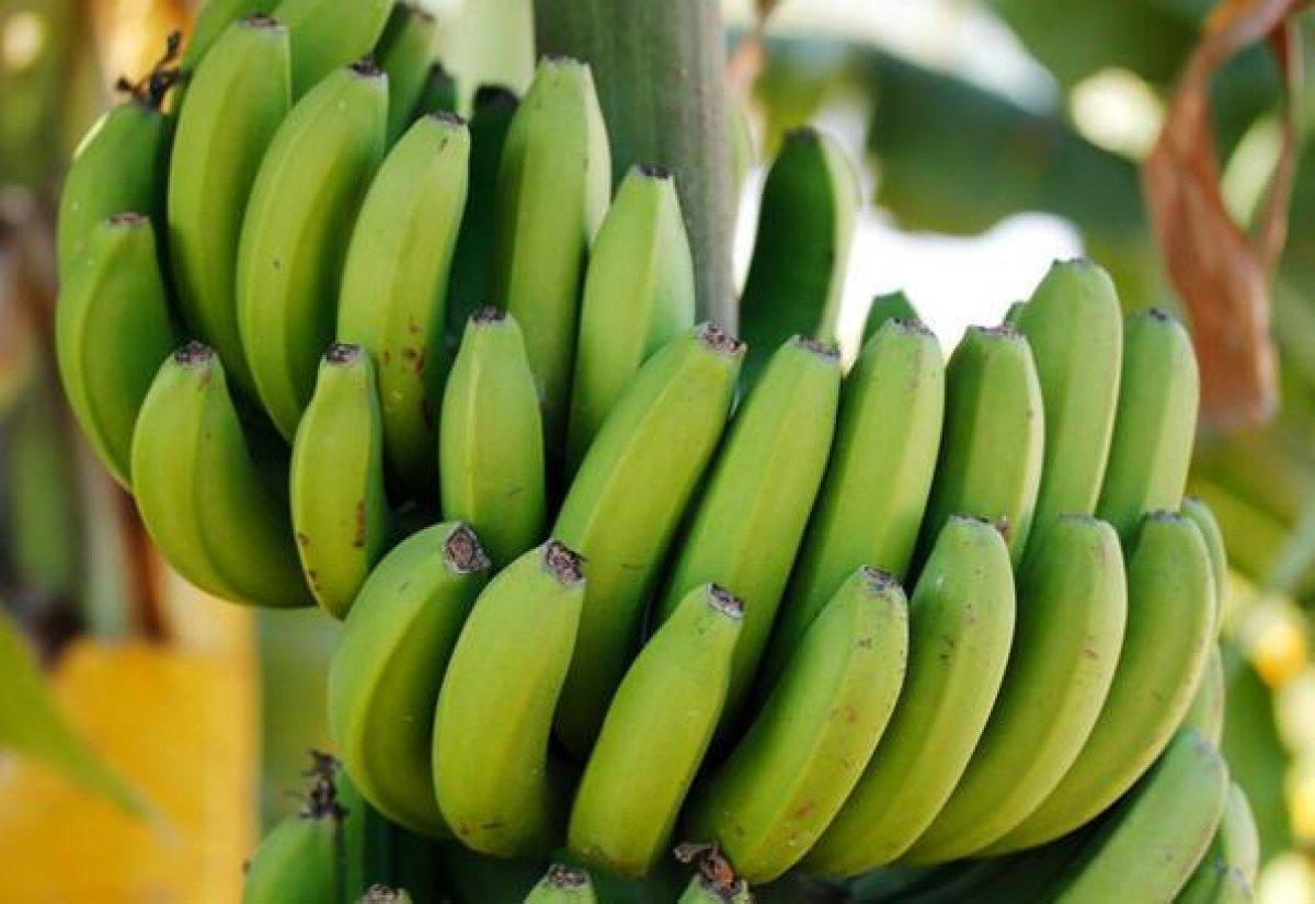 Yeşil ve sarı muz: Hangisi daha sağlıklı? #2