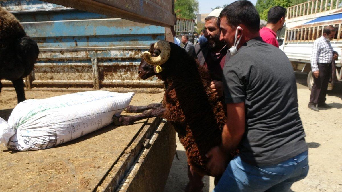 Muş'ta çiftçilere yarısı devlet destekli koç dağıtımı yapıldı #2