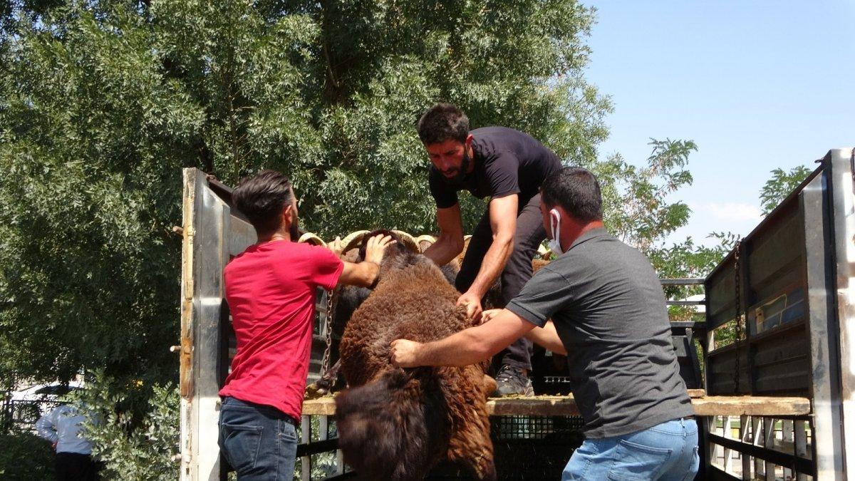 Muş'ta çiftçilere yarısı devlet destekli koç dağıtımı yapıldı #6