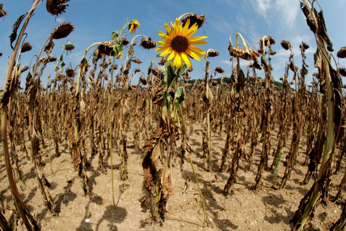 İklim değişikliğinin Trakya daki ayçiçeğine etkisi açıklandı #1
