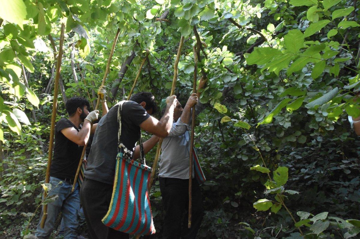 Bitlis'te Hizan fındığının hasadına başlandı #5