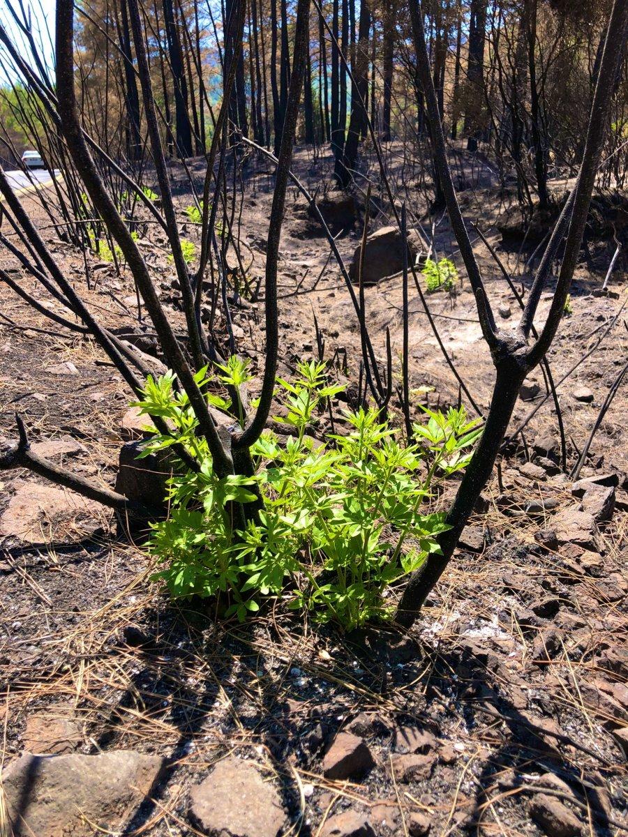 Muğla da yanan ormanlar kendi kendine yeşeriyor #6