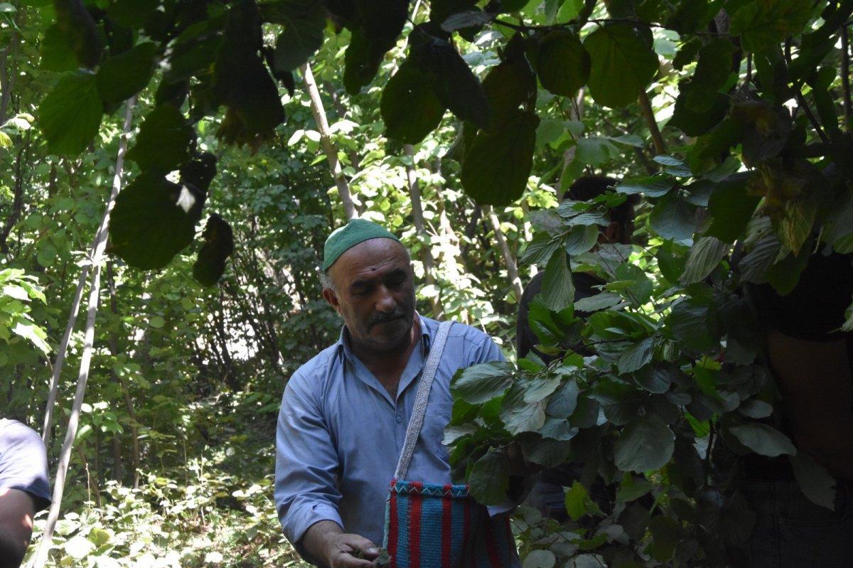 Bitlis'te Hizan fındığının hasadına başlandı #4