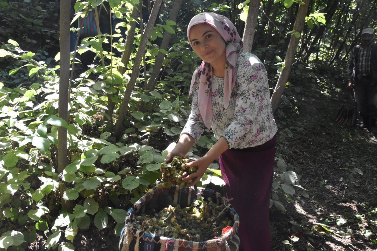 Bitlis'te Hizan fındığının hasadına başlandı #3