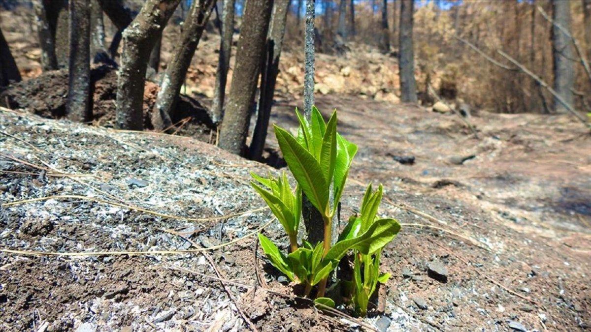 Marmaris te yangınlar sonrası doğa canlanmaya başladı #3