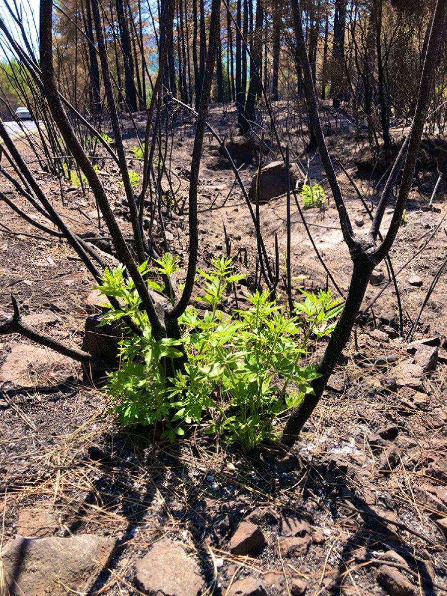 Marmaris te yangınlar sonrası doğa canlanmaya başladı #4