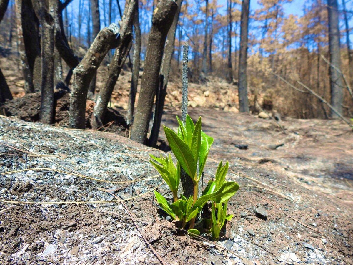Muğla da yanan ormanlar kendi kendine yeşeriyor #1