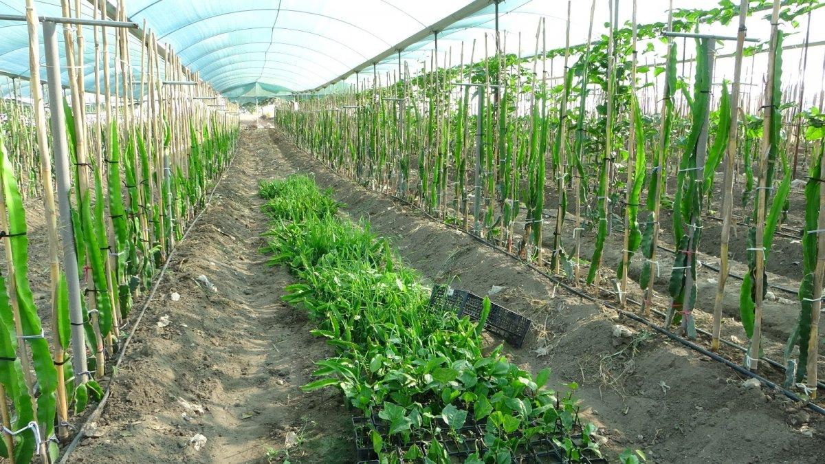 Adana da hayvan yemi ekilen tarlayı, tropikal meyve serasına dönüştürdü #3