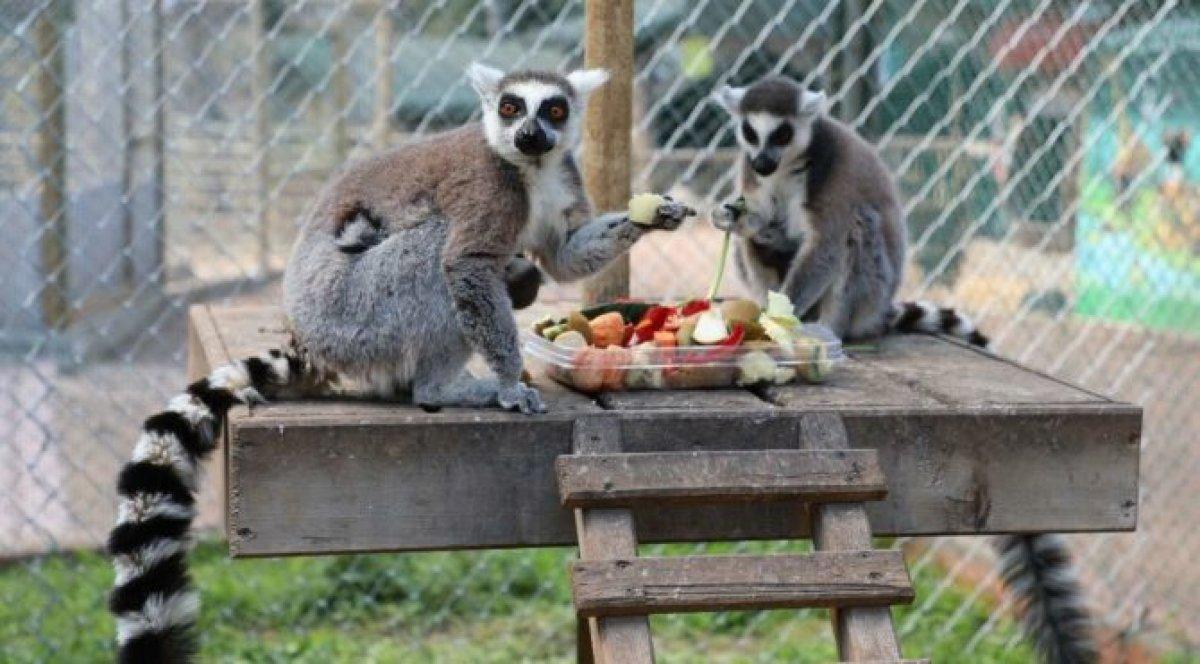 Fransa'daki hayvanat bahçesinden 10 lemur ve 2 tamarin maymununu çaldırlar #1