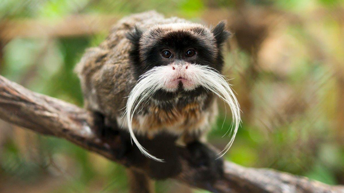 Fransa'daki hayvanat bahçesinden 10 lemur ve 2 tamarin maymununu çaldırlar #2