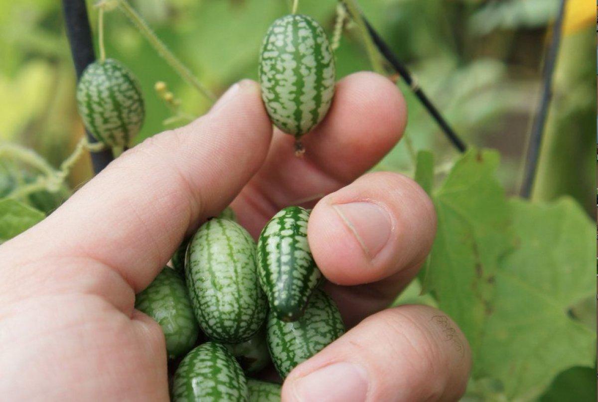 Dışı karpuz içi salatalık: Cucamelon meyvesinin faydaları #2
