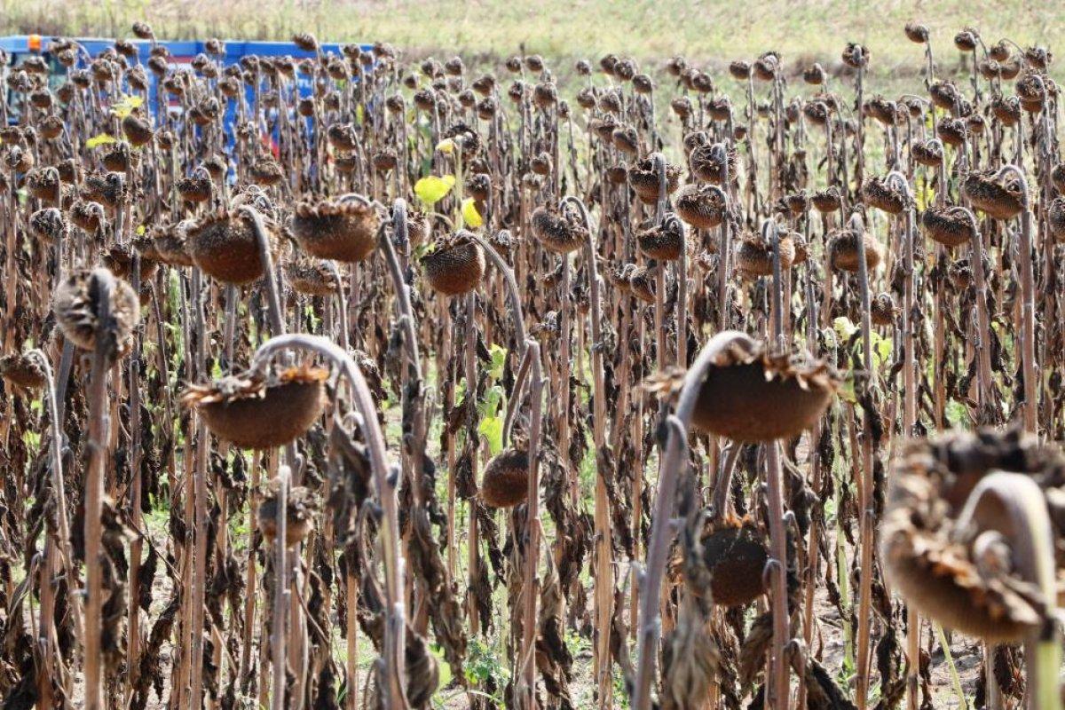Samsun da ayçiçeğinin hasadına başlandı #5