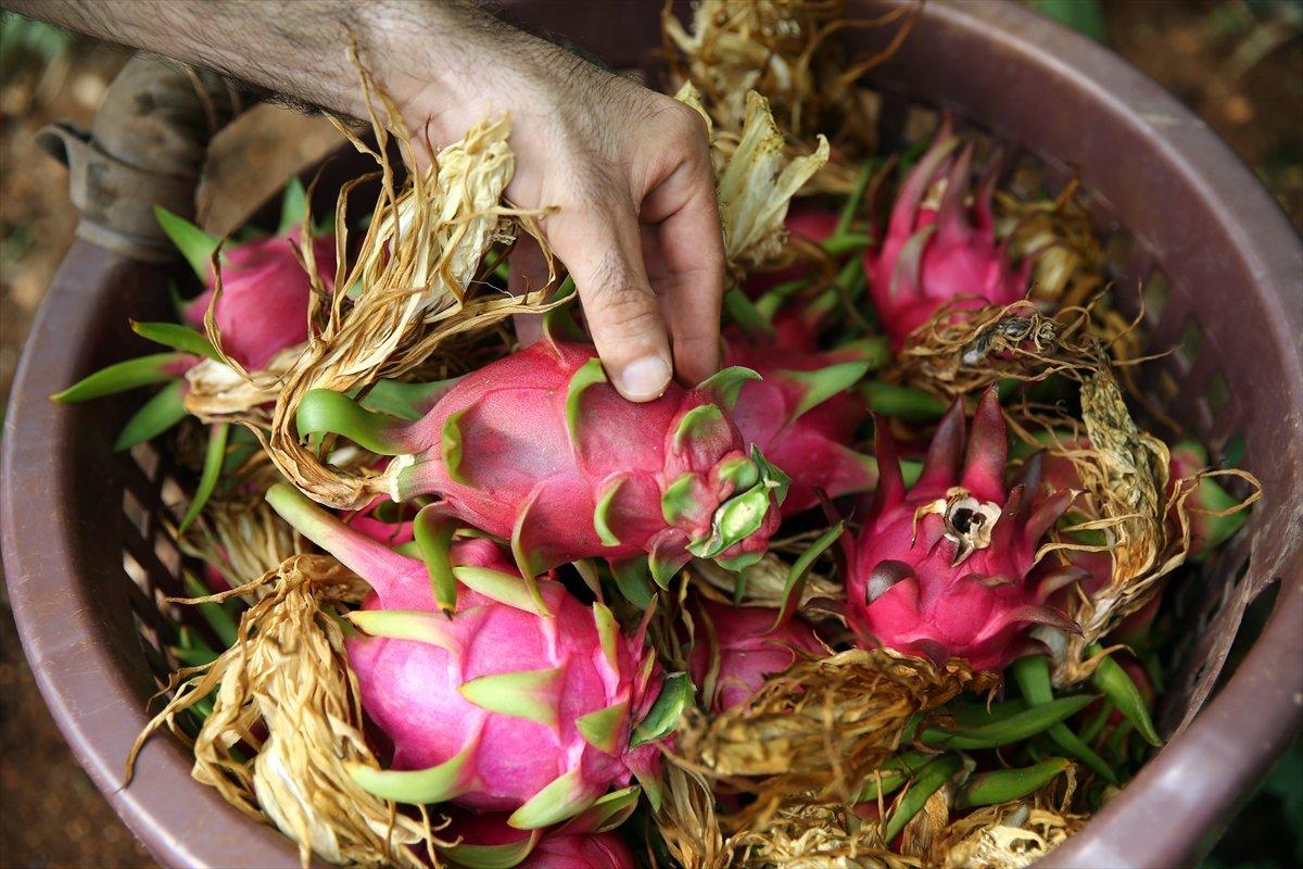 Mersin de ejder meyvesi üreticisi fiyattan memnun #4