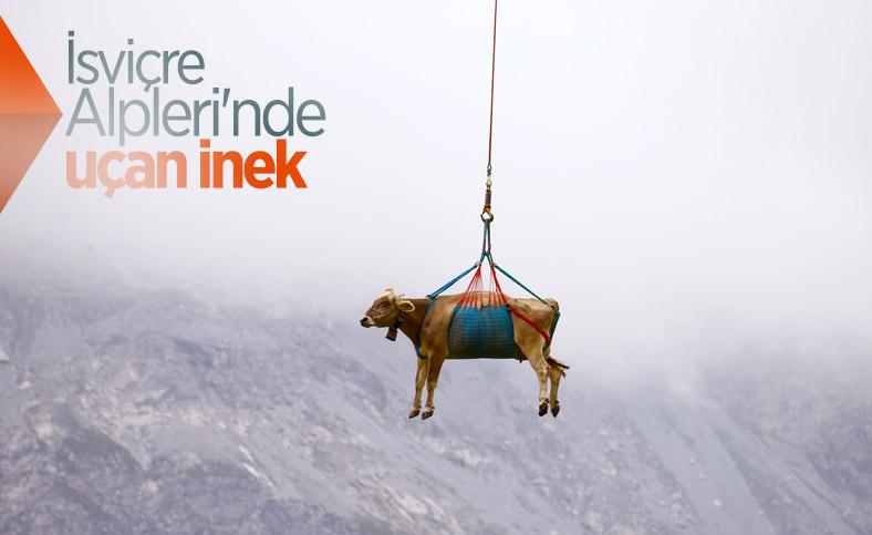 İsviçre'de yaralanan inekler, helikopterle meradan alındı