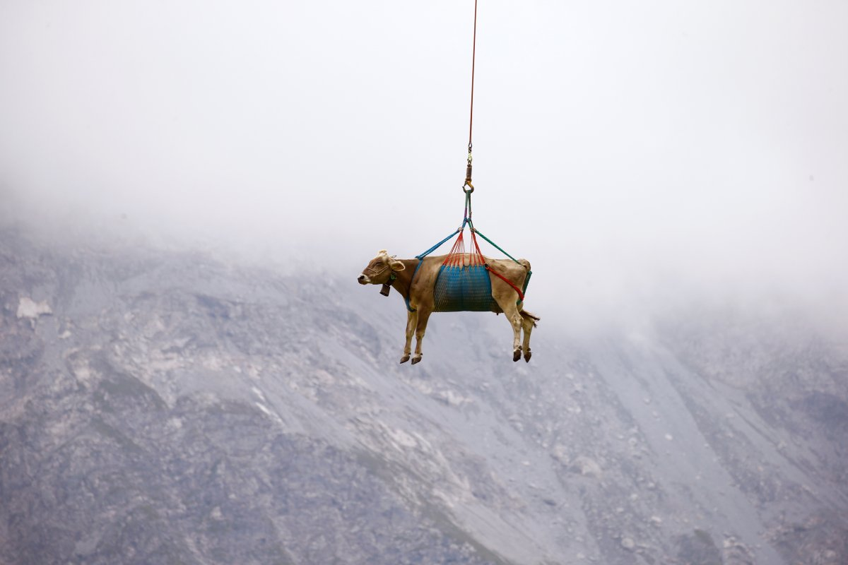 İsviçre de yaralanan inekler, helikopterle meradan alındı #3
