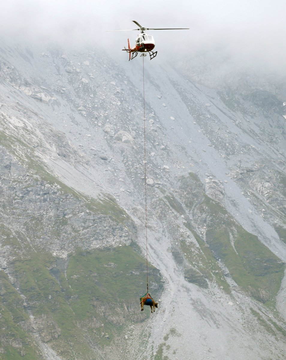 İsviçre de yaralanan inekler, helikopterle meradan alındı #2