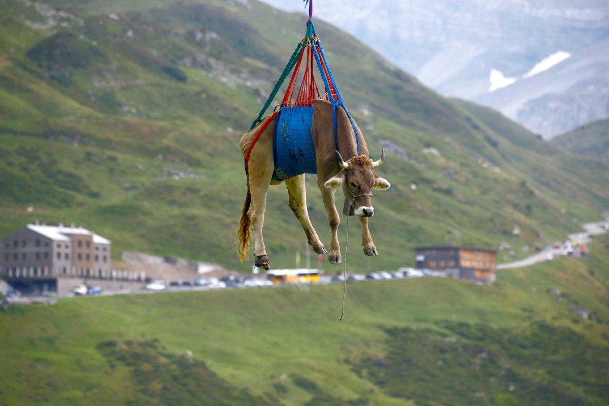 İsviçre de yaralanan inekler, helikopterle meradan alındı #4
