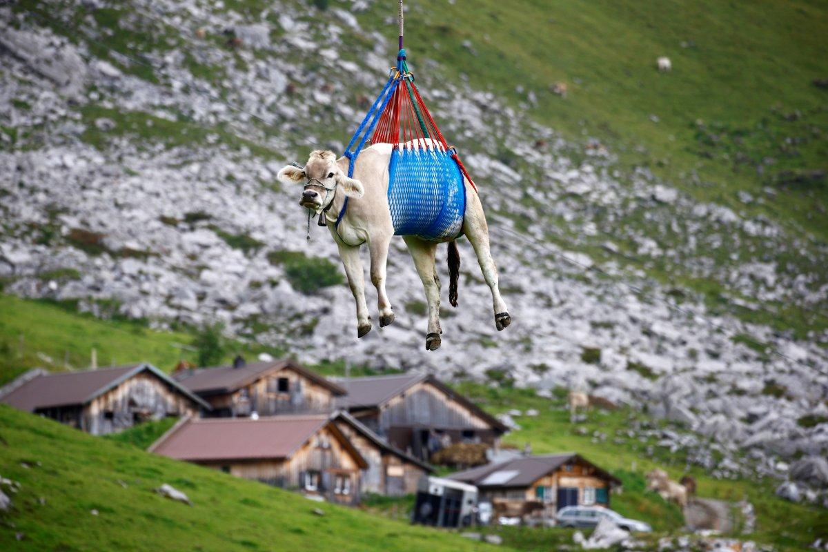 İsviçre de yaralanan inekler, helikopterle meradan alındı #5