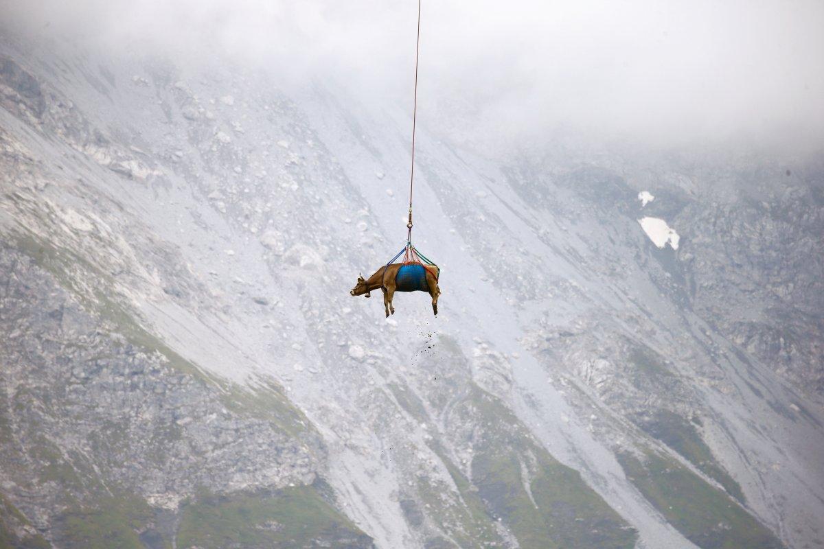 İsviçre de yaralanan inekler, helikopterle meradan alındı #1