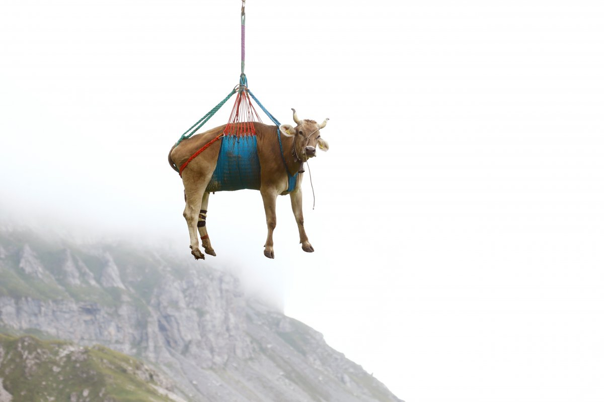İsviçre de yaralanan inekler, helikopterle meradan alındı #6