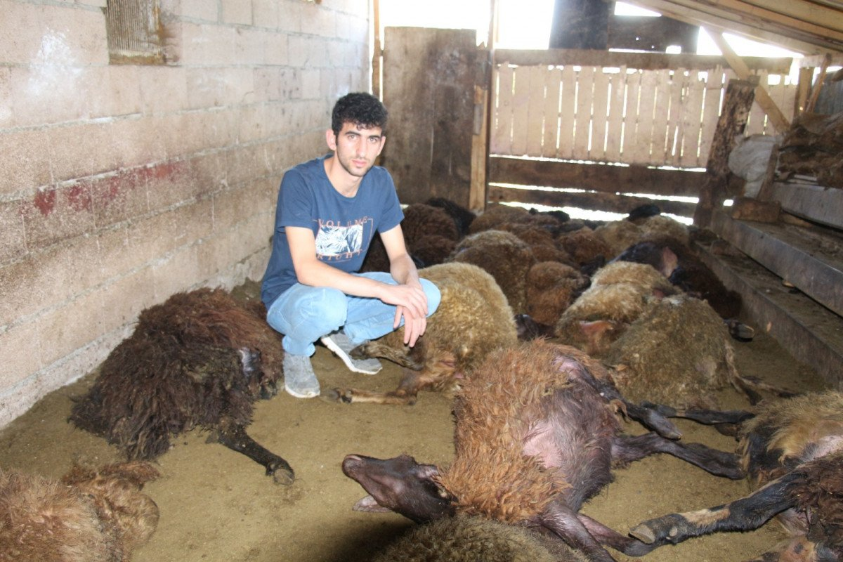 Erzurum da 40 koyun telef oldu #2