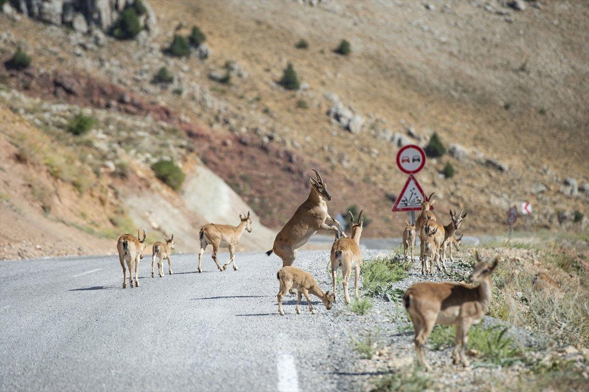 Tunceli de dağlarda yiyecek bulamayan keçiler, tarlalara indi #1