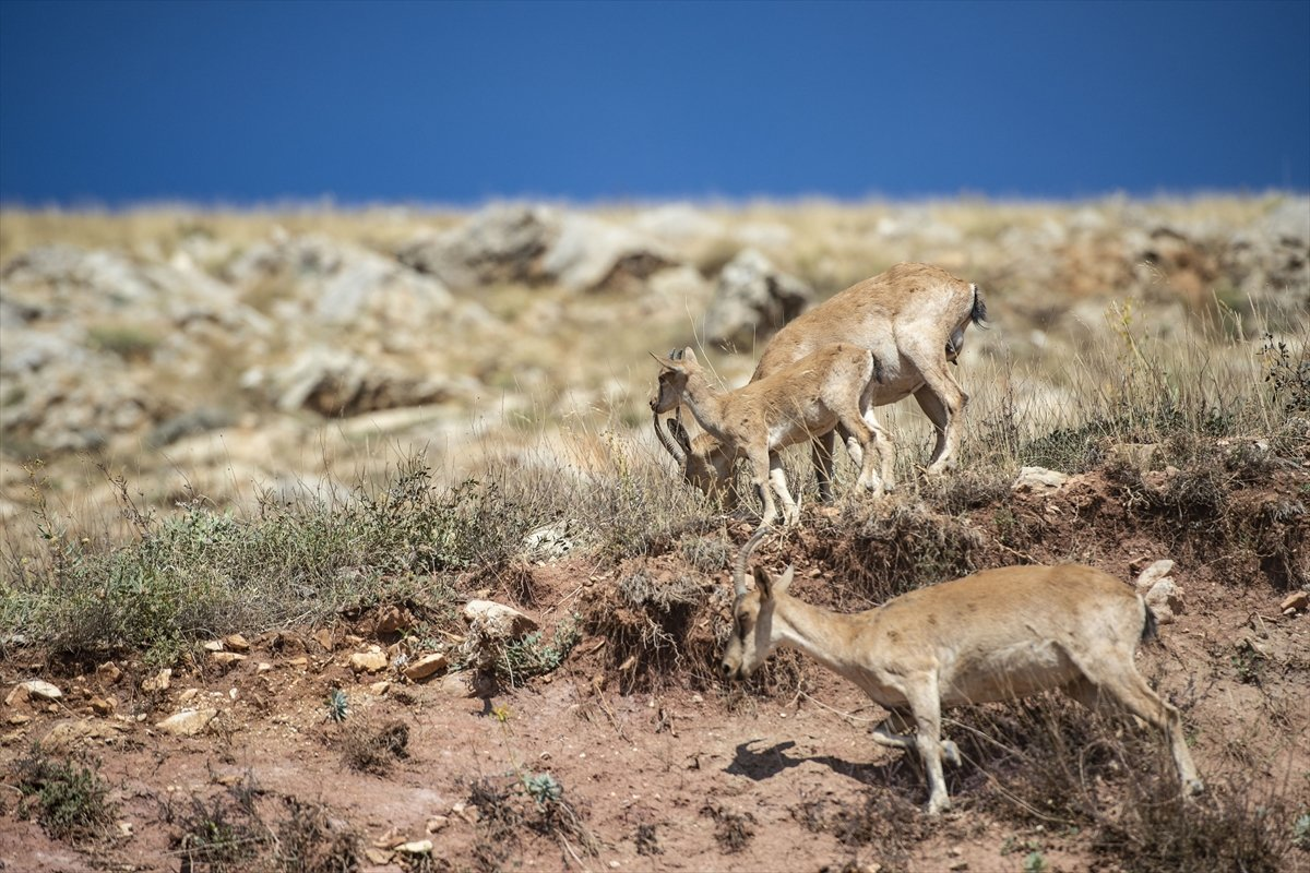 Tunceli de dağlarda yiyecek bulamayan keçiler, tarlalara indi #2