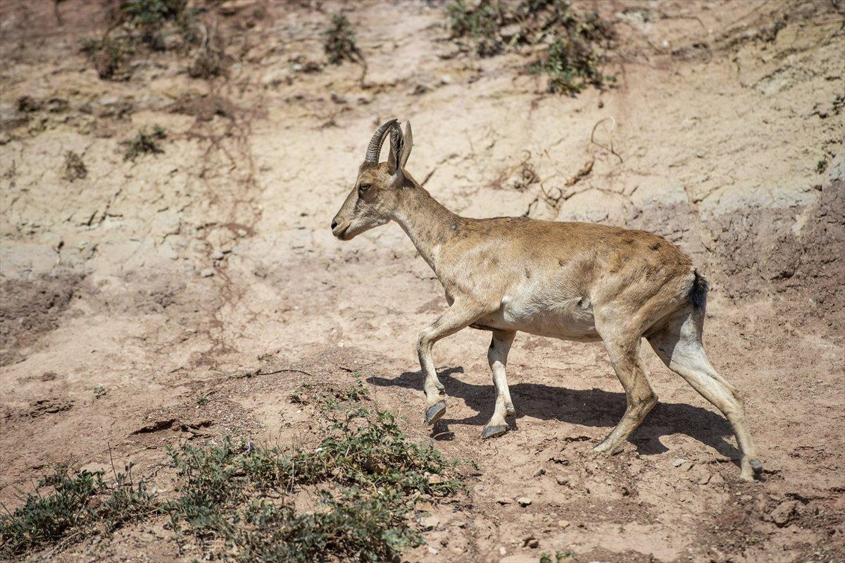 Tunceli de dağlarda yiyecek bulamayan keçiler, tarlalara indi #7