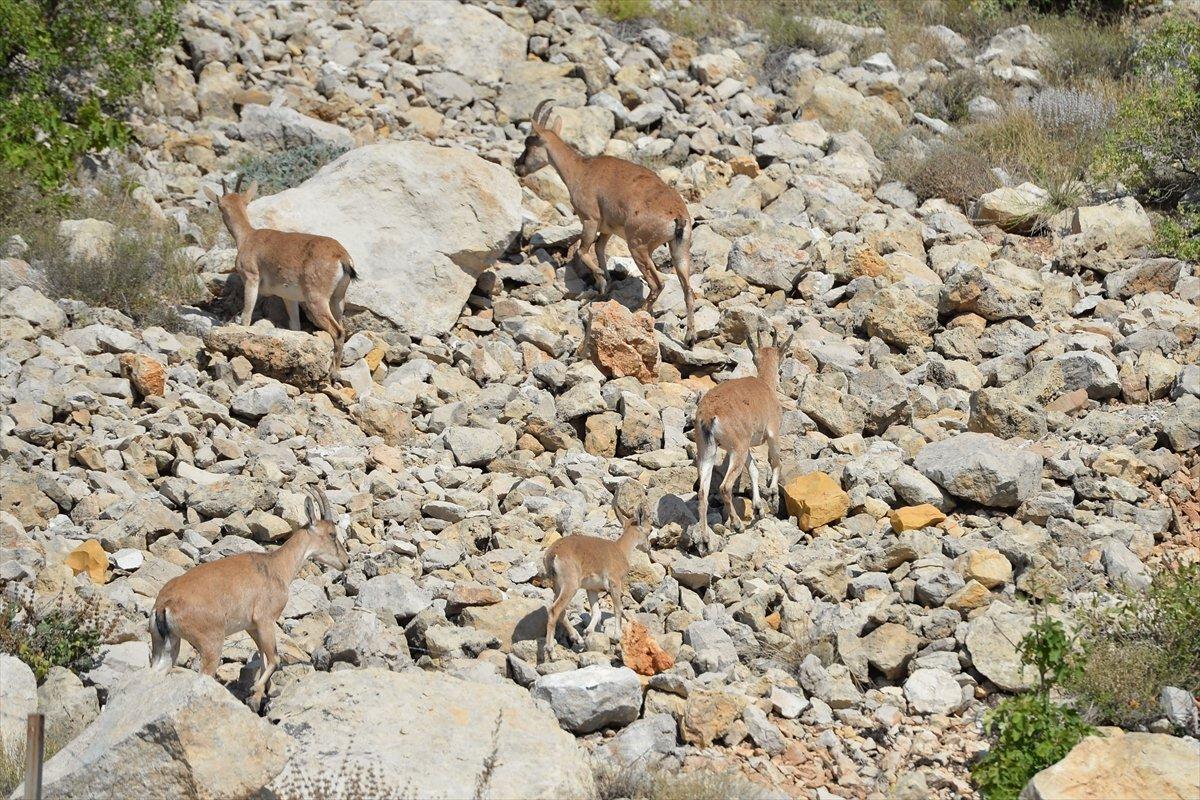 Tunceli de dağlarda yiyecek bulamayan keçiler, tarlalara indi #6