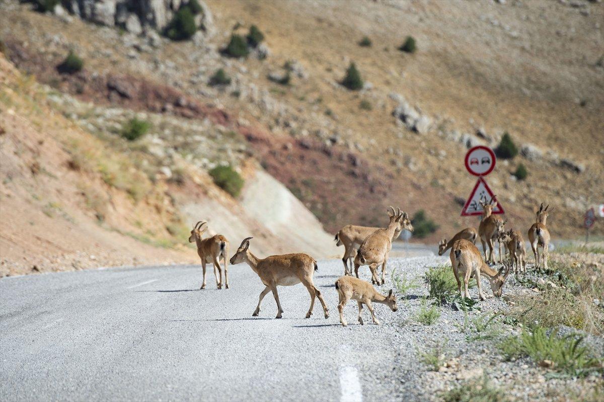 Tunceli de dağlarda yiyecek bulamayan keçiler, tarlalara indi #3