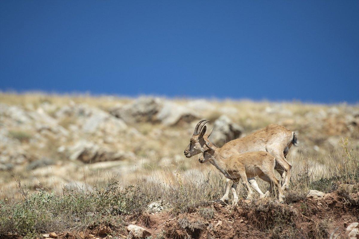 Tunceli de dağlarda yiyecek bulamayan keçiler, tarlalara indi #4