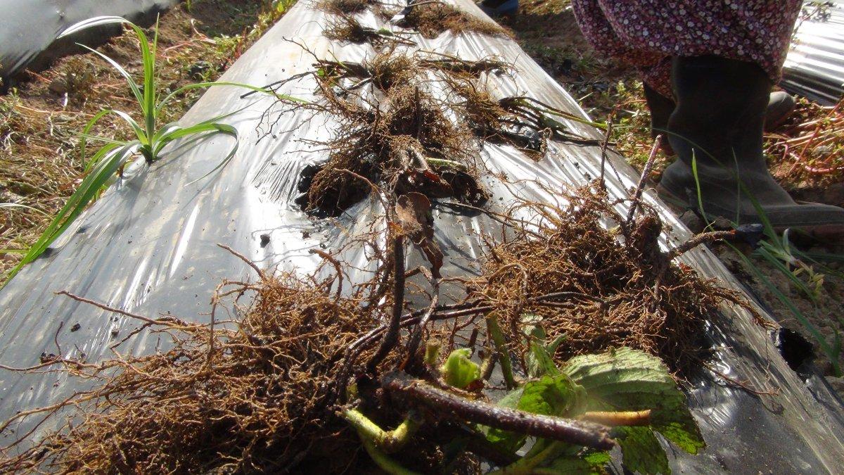 Silifke'de çilek fideleri toprakla buluştu #3