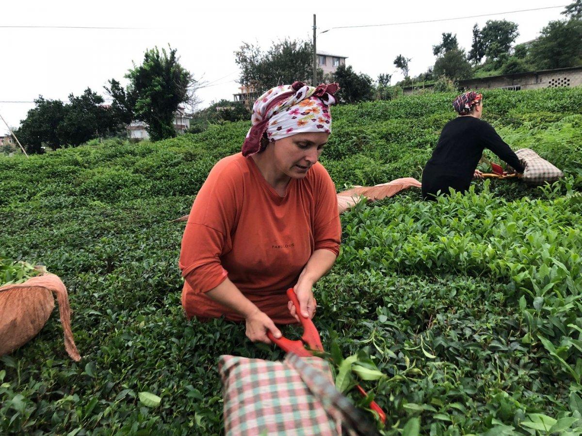 ÇAYKUR 2 günde 9 bin 500 ton yaş çay aldı #1