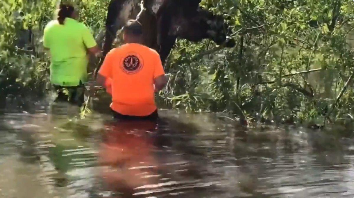 ABD de kasırga sonrası bir inek, ağaca asılı kaldı #1
