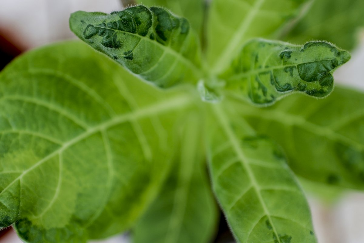 Domates üretimini olumsuz etkileyen virüse karşı yerli tohum geliştirildi #3