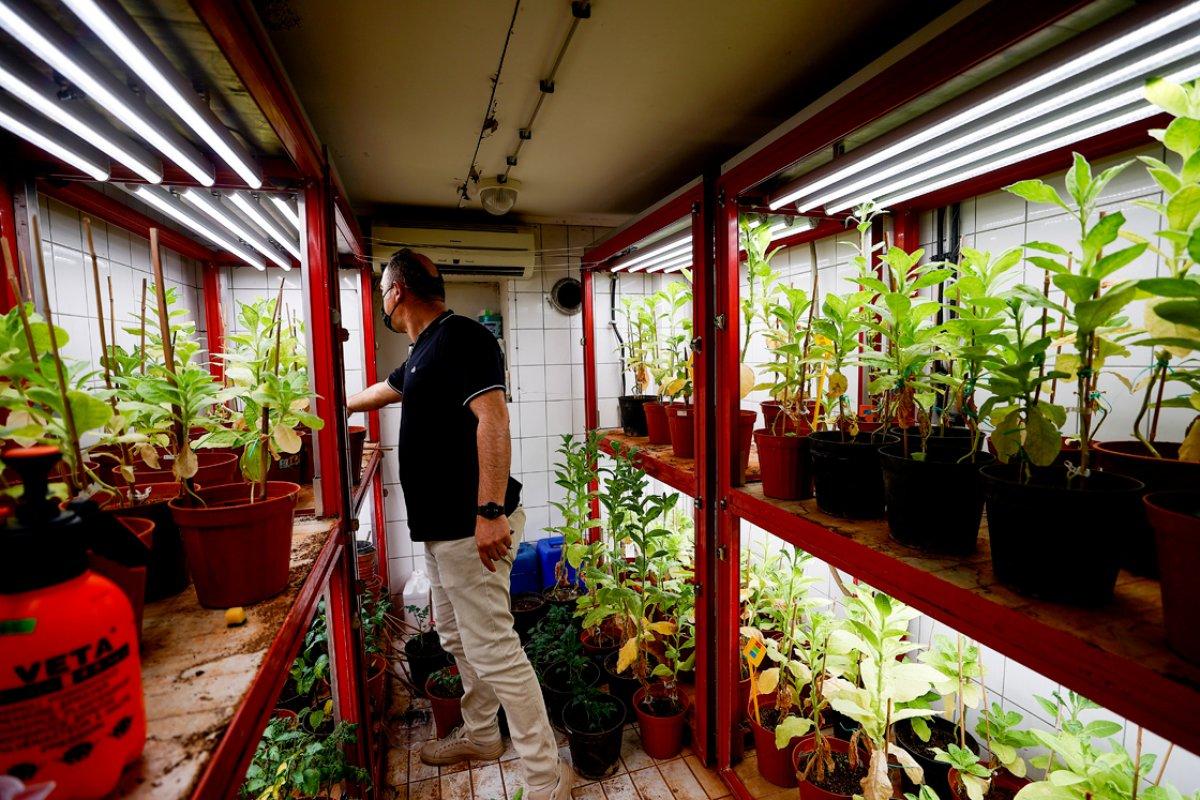 Domates üretimini olumsuz etkileyen virüse karşı yerli tohum geliştirildi #2